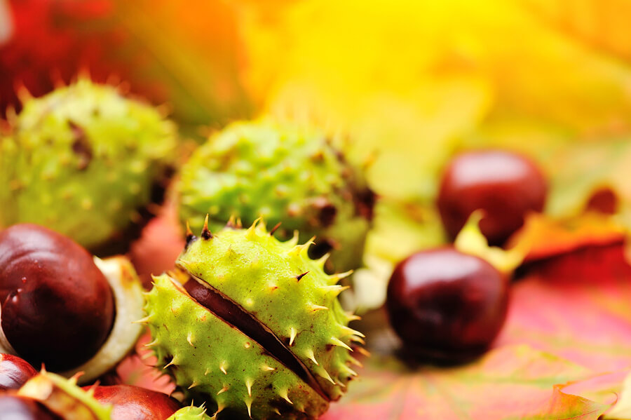 Chestnuts on the ground in autumn
