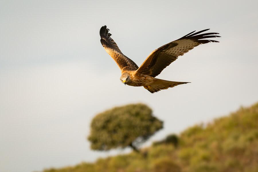 Bird of prey in flight