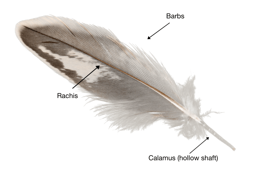 The anatomy of a feather