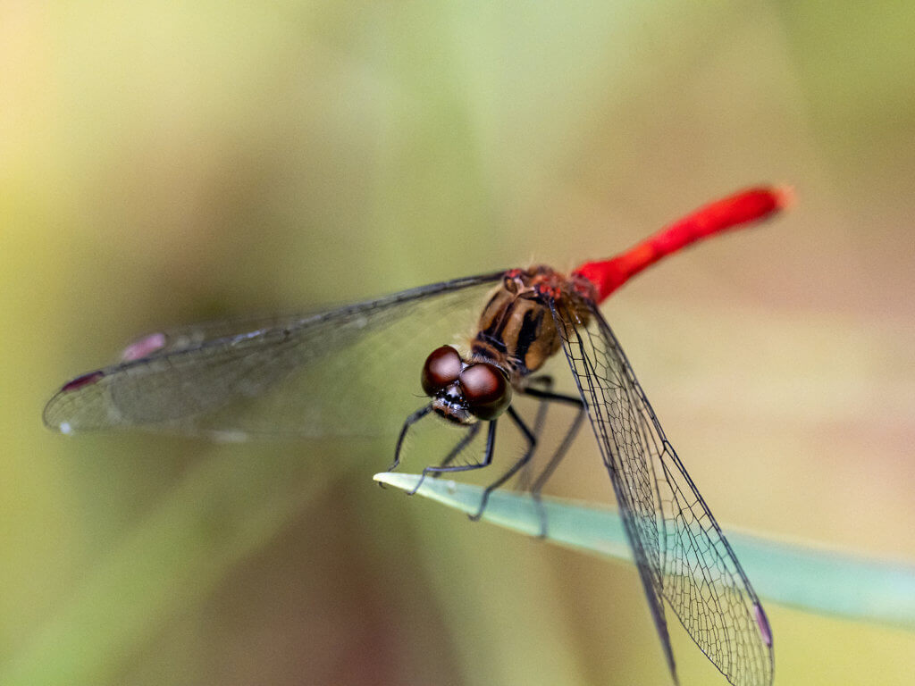 A close-up photo of a red dragonfly in a Japanese park